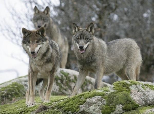 Фото Иберийский волк под
