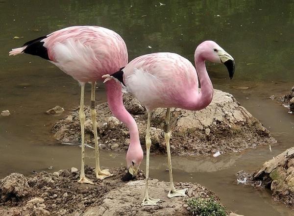 Фото Андский фламинго изо